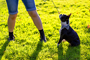 An owner stands pulling on a dog leash as a stubborn dog sits firm on the grass; North Vancouver, British Columbia, Canada