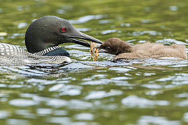 Common loon (Gavia immer) feeding a young loon with a crawfish in La Mauricie National Park; Quebec, Canada