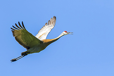 Sandhill crane (Grus canadensis) in flight under a blue sky; Quebec, Canada