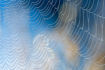 Dew beads cling to the silk web of an orb weaver spider in Oregon; Astoria, Oregon, United States of America