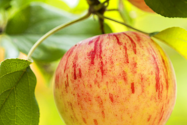 Close-up of a Duchess of Oldenburg Apple (Malus domestica) hanging on an apple tree, which grow widely in the Pacific Northwest; Astoria, Oregon, United States of America