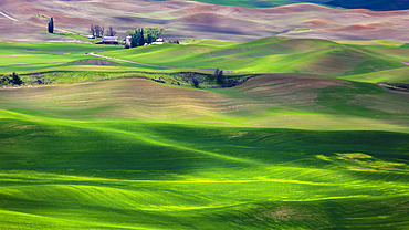 Sunlit rolling hills with green grain fields and farm buildings; Palouse, Washington, United States of America