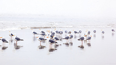 Seagulls standing on the wet beach in the surf; Cannon Beach, Oregon, United States of America