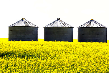 Three large metal grain storage bins in the middle of a flowering canola field with a blown-out sunny sky; East of Calgary, Alberta, Canada