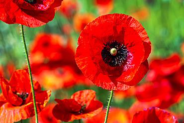 Close up of a red poppy flower; Calgary, Alberta, Canada