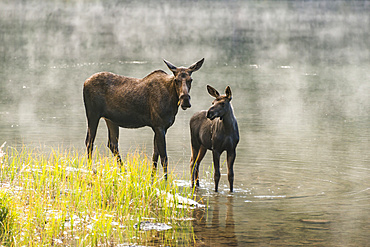Moose cow and calf (Alces alces) standing together at the water's edge with mist rising off the surface of the water behind them, Waterton Lakes National Park; Alberta, Canada