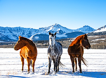 Three horses stand in a row along a fence in a snowy pasture with a snow-covered mountain range in the background; Alberta, Canada