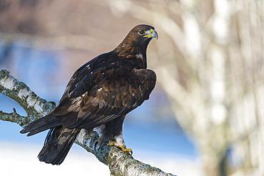 Golden Eagle (Aquila chrysaetos) in winter, Bohemian Forest; Czech Republic