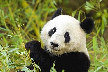 Giant Panda (Ailuropoda melanoleuca), captive in a zoo; Austria