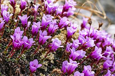 Close-up of purple Saxifragen (Saxifraga oppositifolia) in bloom; Yukon, Canada