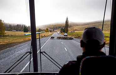 View taken from behind of a bus driver waiting for herd of sheep to cross the road while leaving Mount Cook National Park; Canterbury, New Zealand