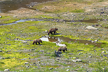 Grizzly Bear and Cubs, Coast Mountains, British Columbia, Canada