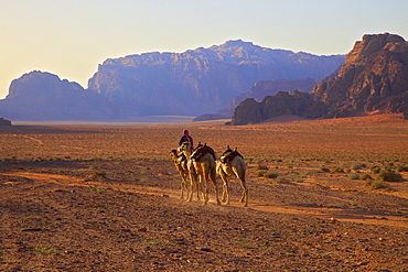 Bedouin with camels, Wadi Rum, Jordan, Middle East