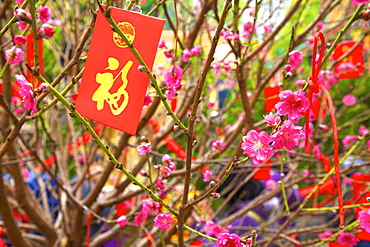 Cherry blossom trees with Lai See Red Envelopes for Chinese New Year, Hong Kong, China, Asia