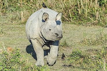 Indian rhinoceros (Rhinoceros unicornis) with Myna birds, Kaziranga National Park, Assam, India, Asia