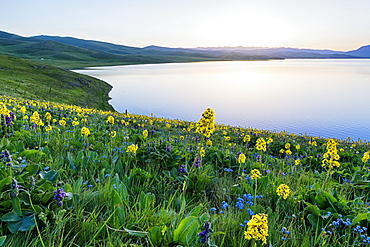 Wild flowers, Song Kol Lake, Naryn province, Kyrgyzstan, Central Asia, Asia