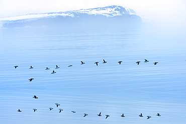 Flock of thick-billed murre flying over Hinlopen Strait, Norway, Europe