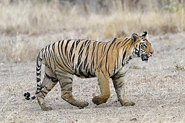 Young Bengal tiger (Panthera tigris tigris) walking, Tadoba Andhari Tiger Reserve, Maharashtra state, India, Asia