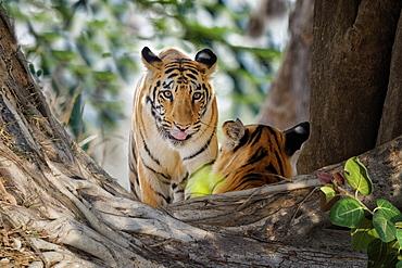 Two young Bengal tigers (Panthera tigris tigris), Tadoba Andhari Tiger Reserve, Maharashtra state, India, Asia
