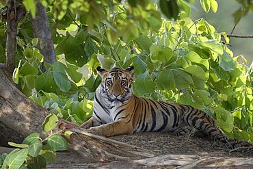 Young Bengal tiger (Panthera tigris tigris), Tadoba Andhari Tiger Reserve, Maharashtra state, India, Asia