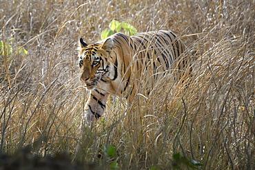 Male Bengal tiger (Panthera tigris tigris) walking in the bush, Tadoba Andhari Tiger Reserve, Maharashtra state, India, Asia