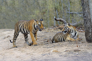 Two young Bengal tigers (Panthera tigris tigris) on a forest path, Bandhavgarh National Park, Madhya Pradesh, India, Asia