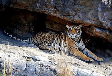Female Bengal tiger (Panthera tigris tigris) resting under rocks, Ranthambhore National Park, Rajasthan, India, Asia