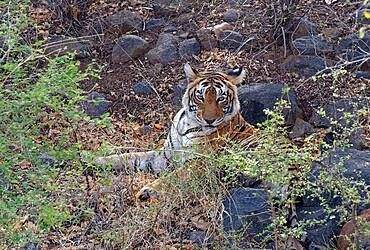 Female Bengal tiger (Panthera tigris tigris) resting on ground, Ranthambhore National Park, Rajasthan, India, Asia