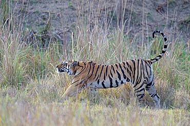 Young male Bengal tiger (Panthera tigris tigris) stretching, Ranthambhore National Park, Rajasthan, India, Asia