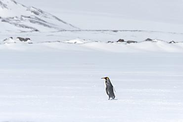 Lonely King Penguin (Aptenodytes patagonicus) walking on snow covered Salisbury Plain, South Georgia Island, Antarctic, Polar Regions