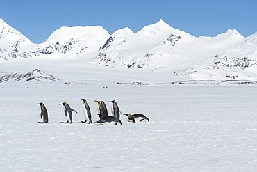 Group of King Penguins (Aptenodytes patagonicus) walking on snow covered Salisbury Plain, South Georgia Island, Antarctic, Polar Regions
