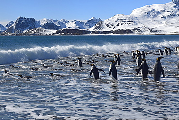 Group of King Penguins (Aptenodytes patagonicus) entering the ocean, Salisbury Plain, South Georgia Island, Antarctic, Polar Regions
