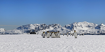 King Penguins (Aptenodytes patagonicus) walking on snow covered Salisbury Plain, South Georgia Island, Antarctic, Polar Regions