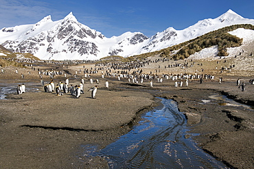 King Penguins (Aptenodytes patagonicus), Right Whale Bay, South Georgia Island, Antarctic, Polar Regions