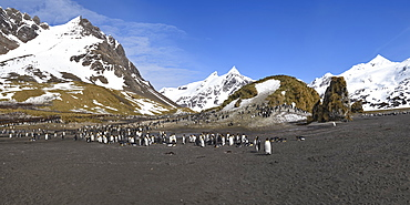 King Penguin (Aptenodytes patagonicus) colony in front of snow covered mountains, Right Whale Bay, South Georgia Island, Antarctic, Polar Regions