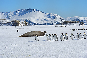 Southern Elephant seal (Mirounga leonina), King Penguins (Aptenodytes patagonicus) on snow, Salisbury Plain, South Georgia Island, Antarctic, Polar Regions