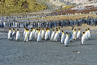 King Penguin colony (Aptenodytes patagonicus), Right Whale Bay, South Georgia Island, Antarctic, Polar Regions