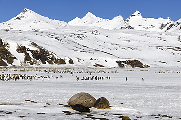 Southern Elephant seal (Mirounga leonina) female and pup on snow, King penguins behind, Salisbury Plains, South Georgia Island, Antarctic, Polar Regions