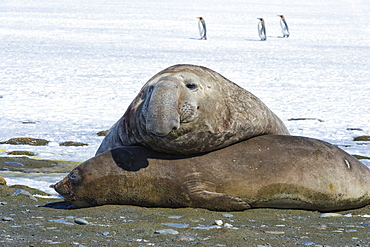 Male Southern Elephant seal (Mirounga leonina) with female on snow, King penguins behind, Salisbury Plain, South Georgia Island, Antarctic, Polar Regions