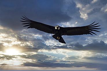 Andean Condor (Vultur gryphus) in flight, Coyhaique Alto, Aysen Region, Patagonia, Chile, South America