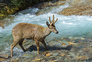Male South Andean Deer (Hippocamelus bisulcus) crossing a river, Aysen Region, Patagonia, Chile, South America