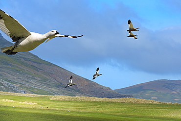 Flying Upland Geese (Chloephaga picta), Grave Cove, West Falkland Island, Falkland Islands, British Overseas Territory, South America