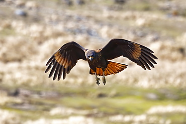 Flying Striated caracara (Phalcoboenus australis), Grave Cove, West Falkland Island,Falkland Islands, British Overseas Territory, South America