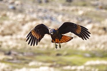 Flying Striated caracara (Phalcoboenus australis), Grave Cove, West Falkland Island,Falkland Islands, British Overseas Territory, South America