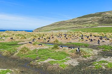 Nesting Gentoo penguins (Pygoscelis papua), Grave Cove, West Falkland Island, Falkland Islands, British Overseas Territory, South America