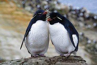 Couple of Southern Rockhopper penguins (Eudyptes chrysocome), New Island, Falkland Islands, British Overseas Territory, South America