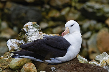 Nesting Black-browed Albatross (Thalassarche melanophris), New Island, Falkland Islands, British Overseas Territory, South America