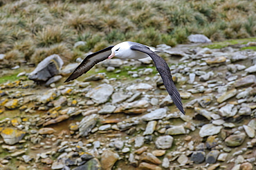 Black-browed Albatross (Thalassarche melanophris) in flight, New Island, Falkland Islands, British Overseas Territory, South America