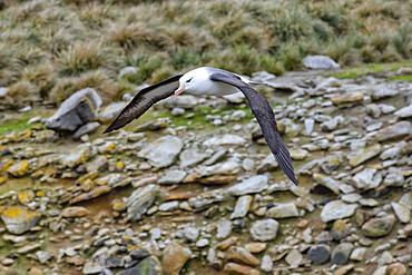 Black-browed Albatross (Thalassarche melanophris) in flight, New Island, Falkland Islands, British Overseas Territory, South America