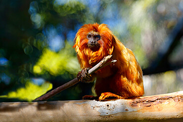 Golden Lion Tamarin (Leontopithecus rosalia), Brazilian Atlantic Coast Forest, Brazil